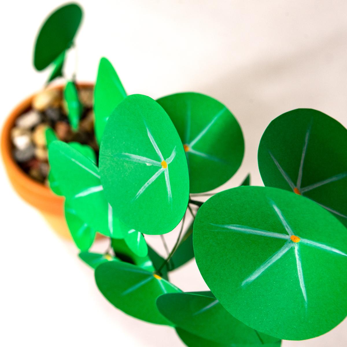 jungla, plantas de papel. pilea planta del dinero detalle