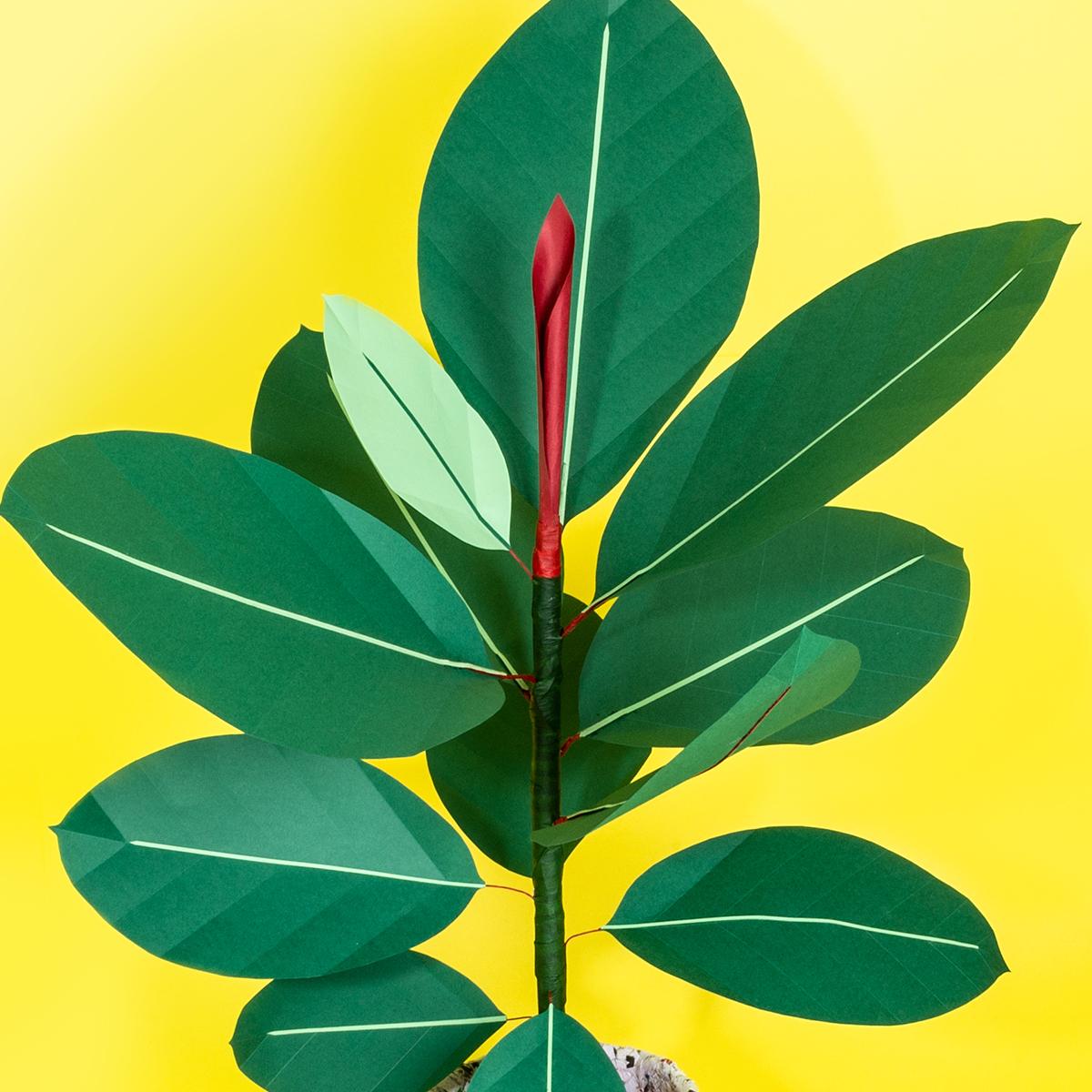 jungla, plantas de papel. ficus 1